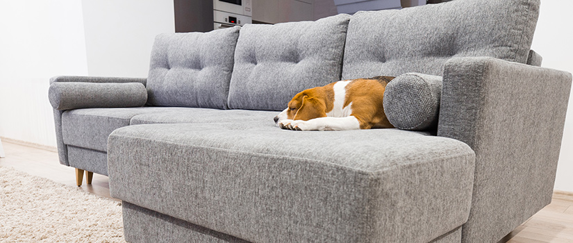 A large grey sofa with a beagle on it angled towards the camera.
